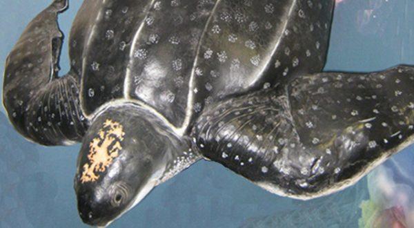 Sam and the Leatherback Turtle